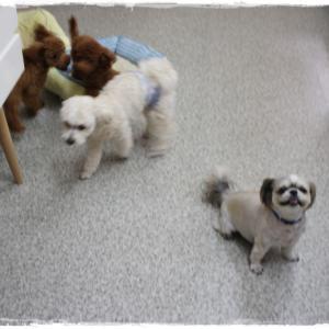 毎週金曜日の「犬の保育園」です(^^)トリミングに来てくれたわんこちゃん達アップしました(^^)