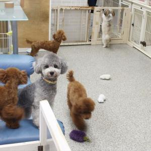 毎週金曜日「犬の保育園」&トリミングわんこちゃん達 9月14日まで