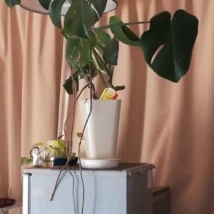 気根がでる観葉植物を植え替え