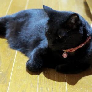 猫オチ♪ 【2020廊下&ペットカート 編】_黒猫な日常:クロネコ「黒龍」