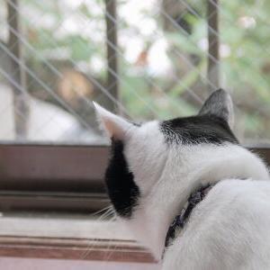 初セミ♪ 【ハル&小鉄 編】_黒猫な日常:クロネコ「黒龍」