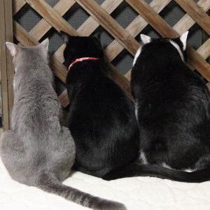 脱走防止用ラティス♪ 【真夏のパトロール 編】_黒猫な日常:クロネコ「黒龍」