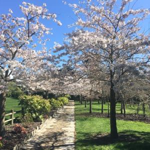 クライストチャーチは桜が見ごろ♪