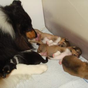 コリー犬の出産。うれしかったこと。悲しかったこと。