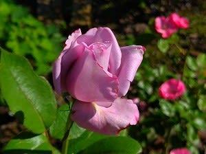 薔薇3~4号お嫁ちゃんママ