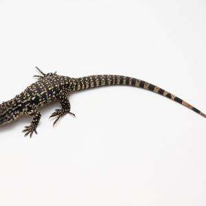テグー(爬虫類)を飼ってみたいと思っている人へ 〜B&Wテグーを約7ヶ月飼ってみて〜