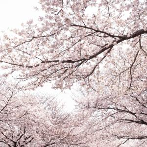 2019年、桜を撮る(ニコン Df Otus 55mm f1.4編)