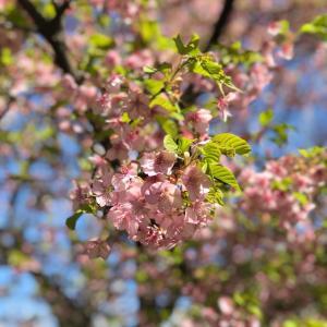 誰もが心待ちにする日本の桜