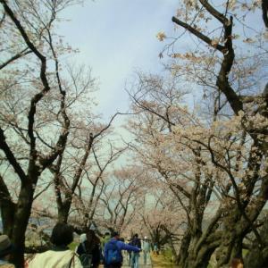 背割堤の桜のお花見と石清水八幡宮の限定御朱印