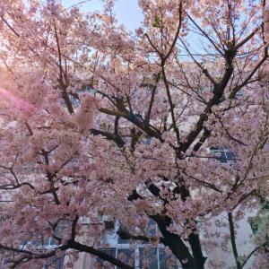 満開の桜と、ナーイスキャッチの猫