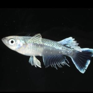 ◆特別な極上種◆ ロングフィンモルフォ(♂個体フサフサロングフィンになります