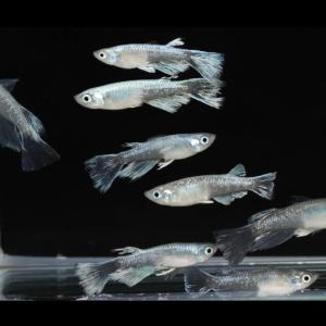 ブラックモルフォ亜種ブルーtypeリアルロングフィン