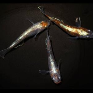ヤフオク出品中  ブラックモルフォ亜種×ダークエメラルドフィン F3(三色タイプ)