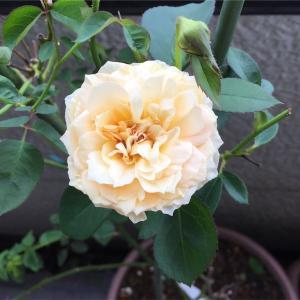 秋バラの開花と台風前の体調