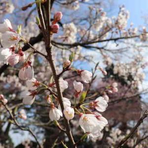 今週のお題「桜舞う季節」どんなに苦しい日々が続いても、毎年桜が咲くこの季節にお花見をすると晴れやかな気持ちに戻れる