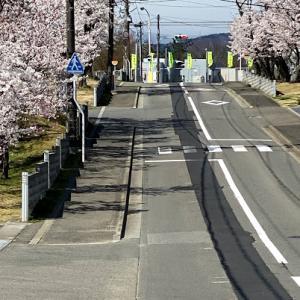 桜が見頃♪(*^_^*)