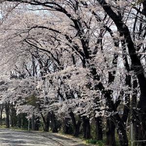 桜満開♪(*^_^*)