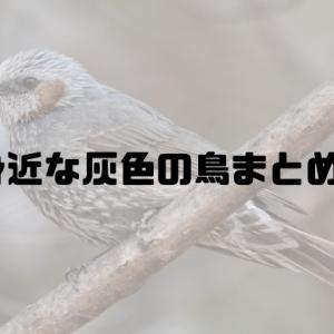 都会の庭で見られる代表的な灰色の野鳥 ~ムクドリとヒヨドリ~