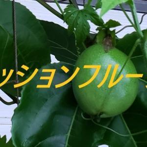 パッションフルーツを収穫しました!