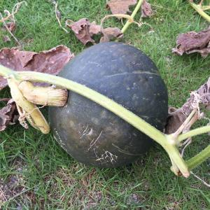 【庭】かぼちゃ栽培記② 収穫  2020/08/03