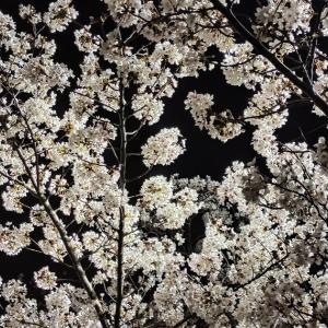 自転車通勤で桜