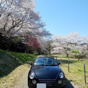 桜と今年こそは!