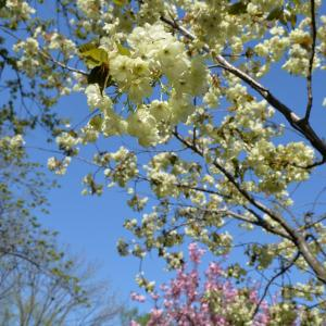 チゴちゃんに叱られる!ウコン桜開花