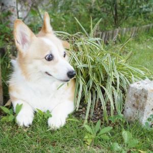 今日の庭仕事ときなこさん