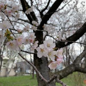 さくら咲く札幌