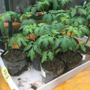 トマトの苗つくり