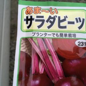 秋野菜、今日も種植え!