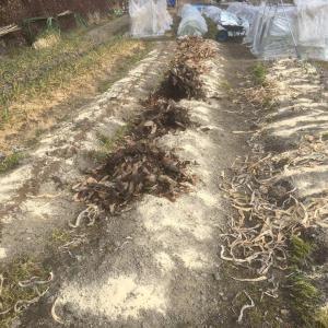 土つくりとダイコン収穫