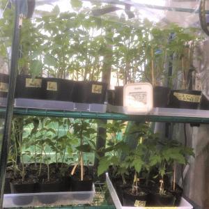 トマトの苗の整理
