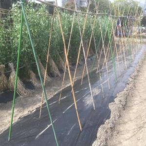 トマトの支柱とニンニクの草取り