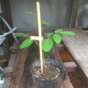 苗を支柱に固定する方法