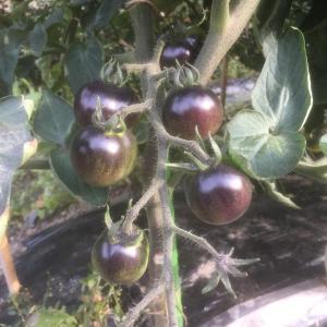 いろいろミニトマト