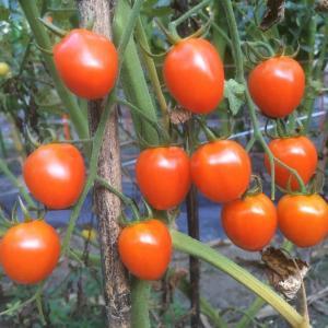ミニトマトは終盤のはずだが、いっぱい採れます!