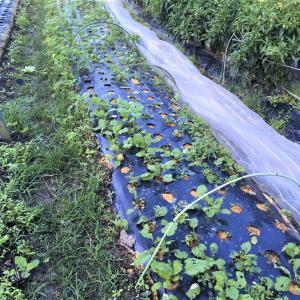 秋植え、葉物野菜は惨敗です!