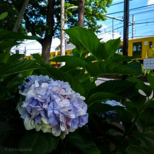 紫陽花と西武線!