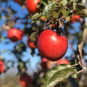 代々木VILLAGEでりんご好きによるりんご好きのためのイベント開催!