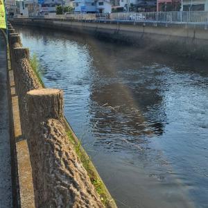 黒鯛が川に、とウエスティ。