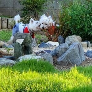 裏庭で遊ぶウエスティ。