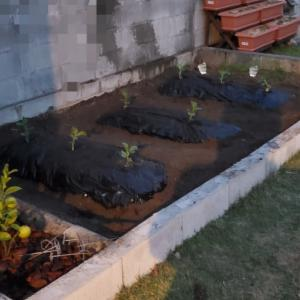 空豆を植えました。