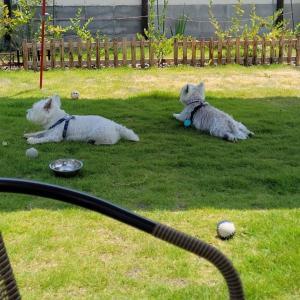 お庭でバーベキュー、とウエスティ。