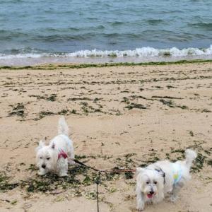 秋の砂浜で遊ぶウエスティ。
