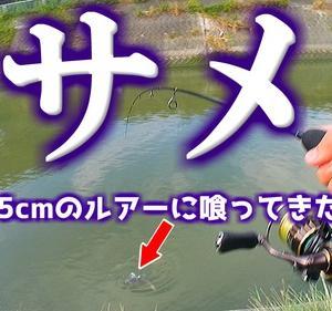 【サメ鮫】5cmのルアーに喰ってきて大変なことに!