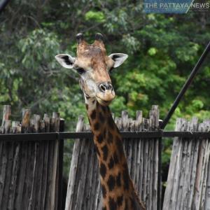 パタヤ)象の水泳にペンギンパレード!カオキアオ・オープン動物園が6月15日から再開!