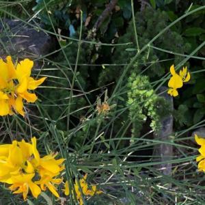 Photo Provence 南仏プロヴァンスの花 黄色い花のエニシダ GENET Eric PETR アート写真