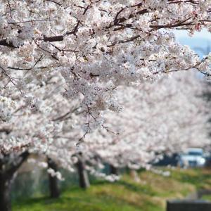 2019桜 トイプードル ドックラン