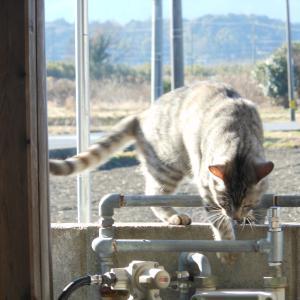 水を飲んでくれない猫のために。